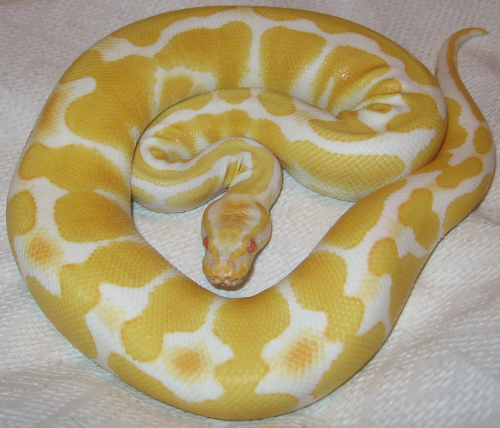 Albino_ball_python